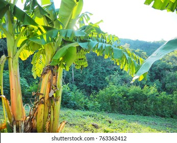 Banana tree group and sunlight and forest view with bright of weather.Banana group with natural around.