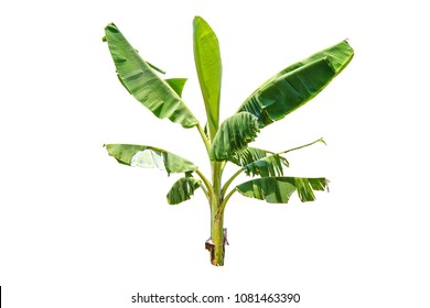 Banana tree isolate die cut on white background with clipping path
