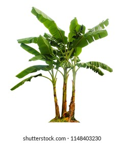 Banana tree isolated with clipping paths for garden design.