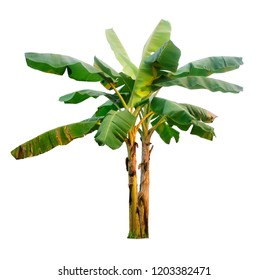 Banana tree isolated with clipping paths for garden design.Economic crops of tropical countries are gaining popularity.The fruit that people around the world love to eat.