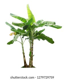Banana tree isolated on a white background with clipping paths.Big tree for garden design.Fruits with a lot of nutrients that are beneficial to health.Tropical plants that are popular around the world