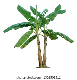 Banana tree isolated on white background with clipping paths for garden design.Economic crops of tropical countries are gaining popularity.