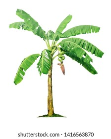 Banana tree isolated on white background with clipping paths for garden design.Tropical economic crops that are easy to grow, yield fast