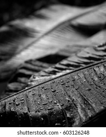 Banana tree leaves in black and white under the rain with blurry background