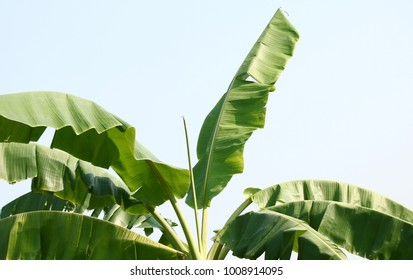 banana tree leaves on sky background