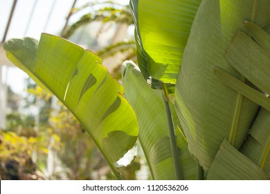 Banana tree leves. Nature photography in botanical gardens. Wild exotic tree