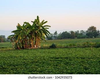Banana tree on field.