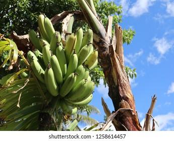 Banana tree on Samosir island