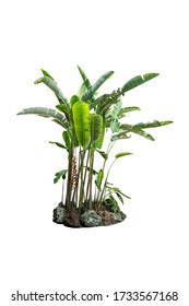 banana tree plant isolated include clipping path on white background
