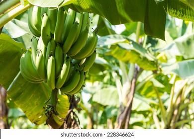 Banana Tree in Plantation