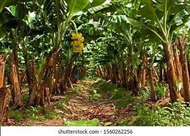 Banana Tree Plantation with Bananas Hanging