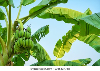 Banana tree plantation with bunch of growing organic raw bananas and green leaves in blue sky background. Agriculture concept.