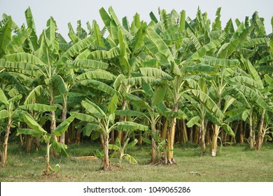 Banana tree plantation with green fields in garden and sunshine.Organic green banana fruits for agriculture background.Food,Healthy concept.