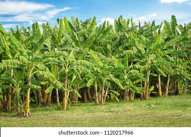 Banana tree plantation with green fields in garden and blue sky with sunshine.Organic green banana fruits for agriculture background.Food,Healthy concept.