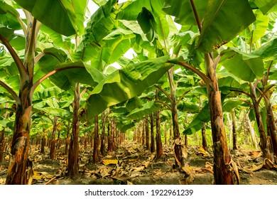 Banana tree plantation in nature with daylight, row of align Banana tree.