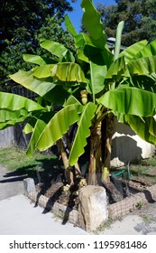 Banana tree in residential Virginian neighborhood with banana pod.