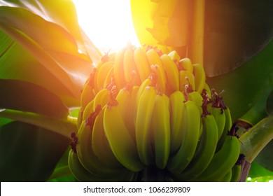 Banana trees with fruits