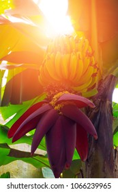 Banana trees with fruits and flower
