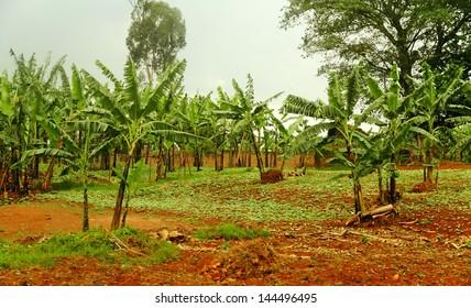 Banana trees growing on a Rwandan farm