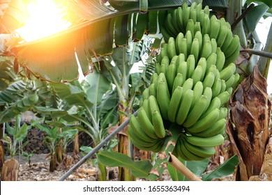 Banana trees on banana plantation, Tenerife, Canary islands, Spain