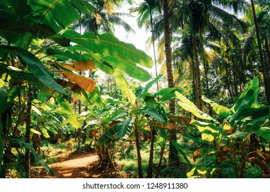 Banana trees with sunlight in jungle in India