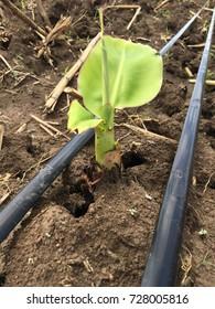 Banana trunk growing up
