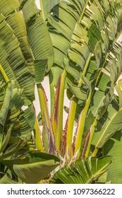 banana-like leaves of a large Strelitzia nicolai, white bird of paradise plant