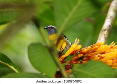 Bananaquit (Coereba flaveola) bird in El Yunque National Forest of Puerto Rico