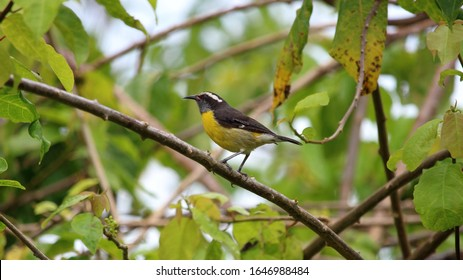 Bananaquit perched in rainforest St Thomas, US Virgin Islands