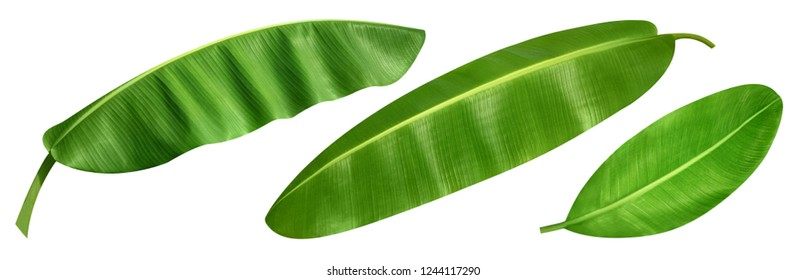 Bananas leaves isolated on white background. Bananas with leaves Clipping Path