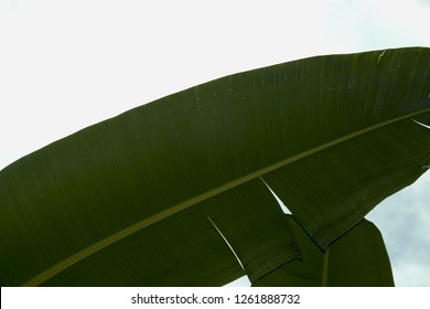 Banane palm leaf, green nature trexture background. On a white background and sky