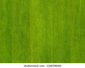 Banane palm leaf, green nature trexture background.Use for website/banner, backdrop, montage menu