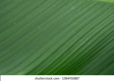 Banane palm leaf, green nature trexture background.