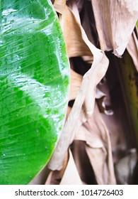 Banane palm leaf on old banana leaf background.
