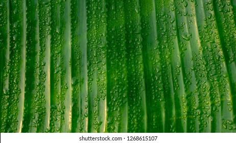 Banane palm leaf,texture background Green leaf with water droplets in leaf.