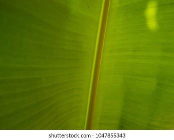 Banans leaf texture