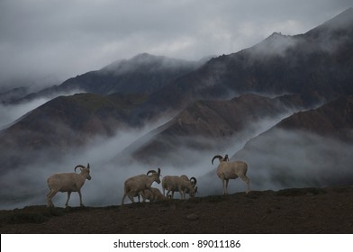 Band of Dall Sheep rams (Ovis dalli) graze on the rocky slopes as mist filters through the mountains in Denali National Park, Alaska.