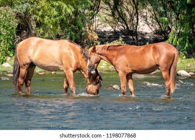 A band of wild horses grazing on grass that grows in the Salt River that flows through the Tonto National Forest near Phoenix AZ.