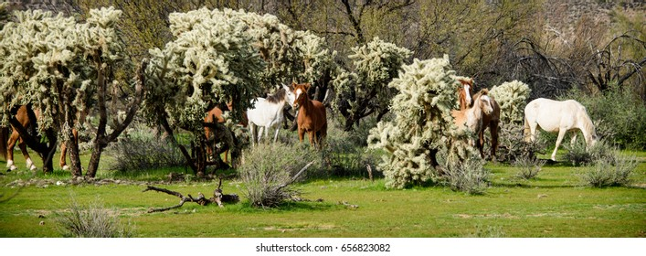 Band of wild horses hiding within the cholla cacti.  These horses  wild herd band located outside Phoenix Arizona in the salt river valley.