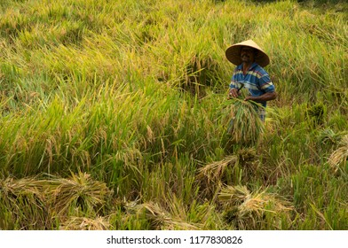 Banda Aceh, Aceh, Indonesia - September 28, 2010 : farmers harvesting rice in rice field in Banda Aceh