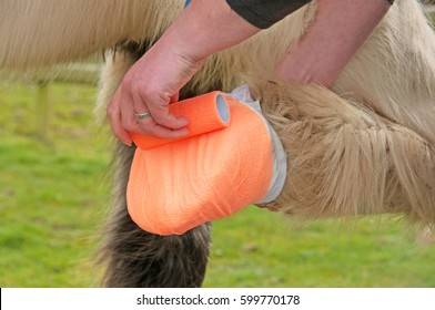 Bandage being applied to a poulticed hoof
