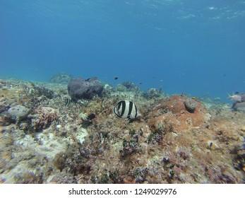 Banded butterflyfish swimming above reef near South Bimini, Bahamas