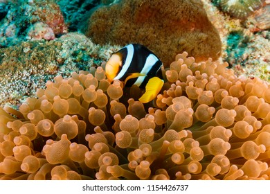 A Banded Clownfish in its home anemone on a tropical coral reef