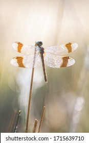 Banded darter dragonfly(Sympetrum Pedomontanum)outside in nature
