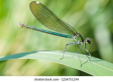 The banded demoiselle (Calopteryx splendens)