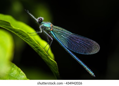 Banded demoiselle (Calopteryx splendens) with dew. Damselfly with dark band across centre of wings and metallic blue-green body
