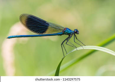 The banded demoiselle (Calopteryx splendens) is a species of damselfly belonging to the family Calopterygidae