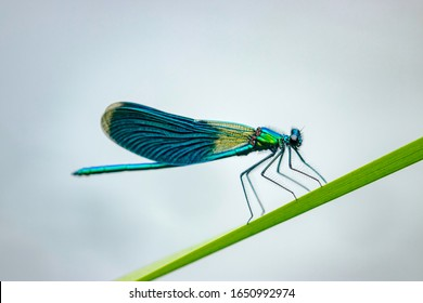 The banded demoiselle (Calopteryx splendens) is a species of damselfly belonging to the family Calopterygidae.