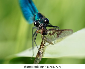A Banded Demoiselle Eating a Mayfly
