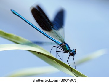 Banded demoiselle male with open wings